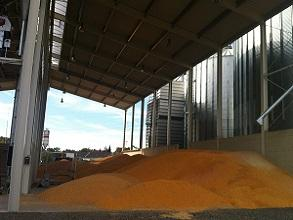 Biomass drying corn temporary storage 293x220